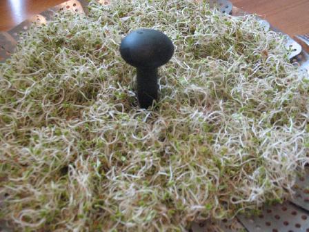 clover_sprouts_fini-2