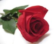 roses-31-copy
