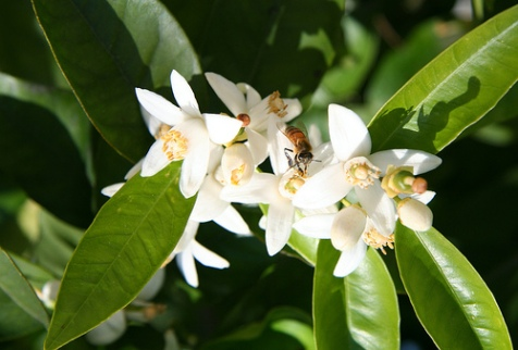 Orange Blossoms with Bee, by Clownfish